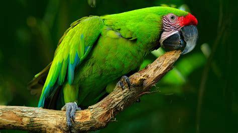 imagenes de guacamayas verdes la localizaci 243 n de la guacamaya verde lim 243 n