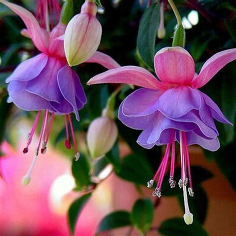 10 types rare flower seeds colorful lantern fuchsia bell home garden plant decor ebay