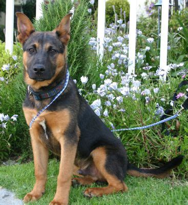 rottweiler rescue of los angeles 17 best images about dogs on rottweilers swiss mountain dogs and chow