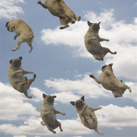 the flying pug flying pugs a gallery on flickr