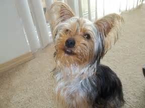 yorkie haircuts pictures yorkie haircuts pictures dog breeds picture