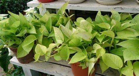 growing money plant  pots indoors balcony agri farming