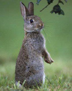Bodypack Big Mice 1 0 Black rabbit tests positive for bubonic plague in colorado