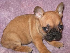 bulldog puppies for sale in ny bulldog puppies for sale