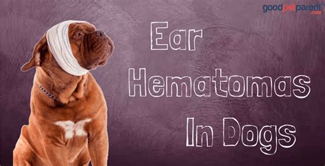 swollen ear flap home treatment ideas about hematoma in dogs ear pets and animals pictures