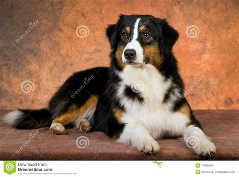 Berger Brown australian shepherd lying on brown background stock photo