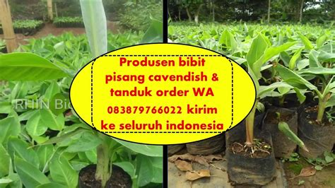 Cari Bibit Pisang Cavendish wa 083879766022 supplier bibit pisang cavendish tanduk