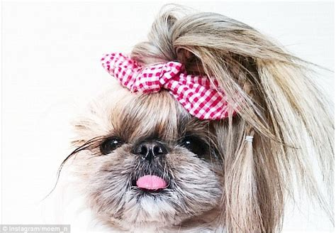 shih tzu ponytail shih tzu showcases hairstyles before they appear on the catwalks daily mail
