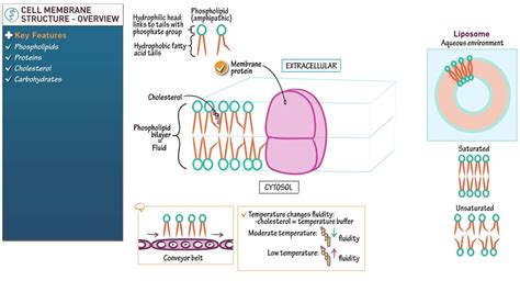 biology  biochemistry overview cell membrane structure