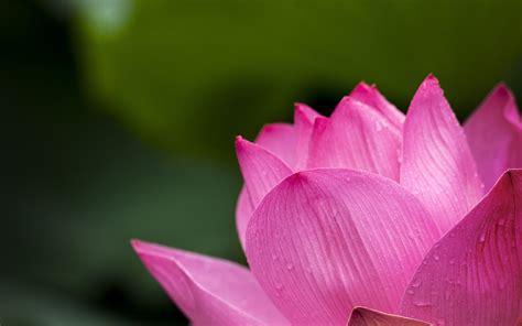 wallpaper pink lotus pink lotus flower 4k wallpaper hd wallpaper background