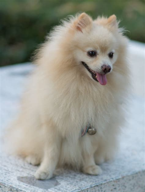 rescue a pomeranian rehoming a rescue pom pomeranian information care pictures