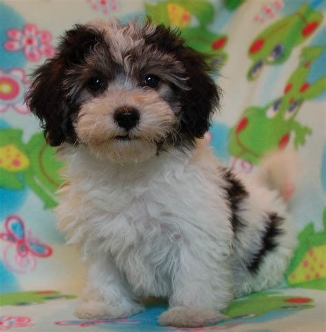 havanese puppy royal flush havanese reviews complaints about allergies to hypoallergenic dogs