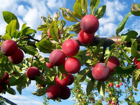 Plumb Tree by The Earth Of India All About Plum In India