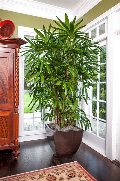 rhapis palm  sale   lady palm today