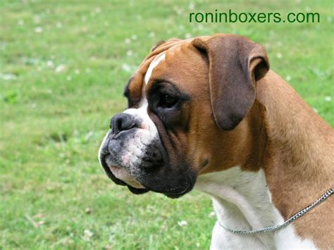 golden boxer puppies golden boxer i miss not a boxer around can we