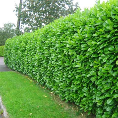 which hedge hedging plants explained evergreenhedging com