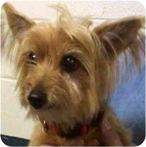 yorkie puppies salt lake city glider adopted salt lake city ut yorkie terrier mix