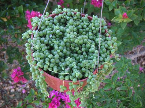 succulents plants string of pearls succulent hanging plant