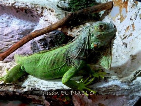 iguana la iguana kućni ljubimac nisan el diablo hr