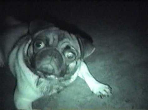 evil pug dramatic evil pug