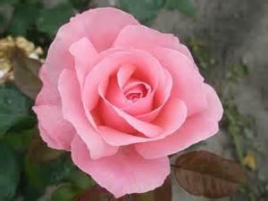 garten märz pflanzen beetrose the elizabeth rosa the elizabeth