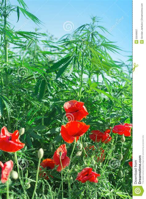 fiore di cannabis fiori papavero e cannabis marijuana fotografia