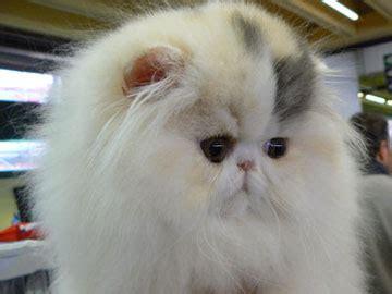 gatti persiani allevamenti gattipersiani it gatti persiani