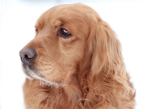golden cocker retriever size golden cocker retriever wallpapers pics animal literature