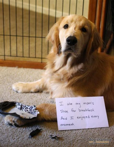 golden retriever breakfast felix shoe shaming cat shaming and puppys