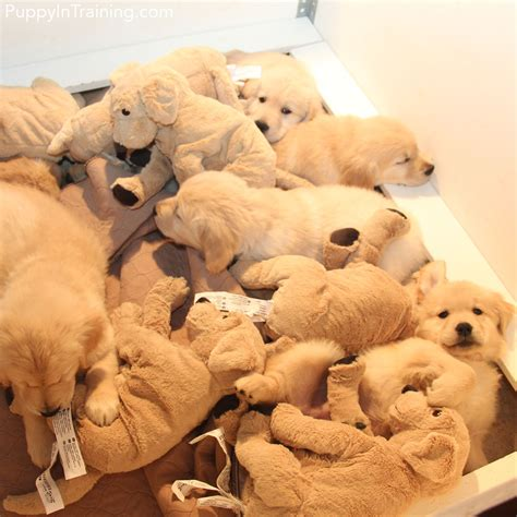 raising golden retriever puppies our litter of golden retriever pups week 8 couture country