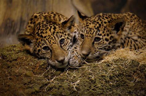 jaguar belize problem jaguar rehabilitation program the belize zoo