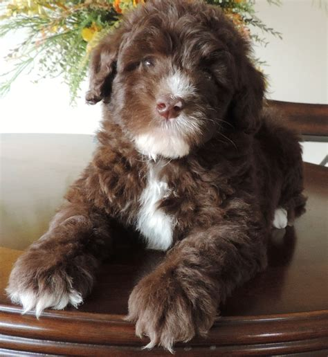 puppy nanny puppy nanny flying service labradoodle puppies for sale labradoodle breeders