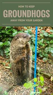 How To Keep Groundhogs Out Of Garden by How To Keep Groundhogs Away From Your Garden