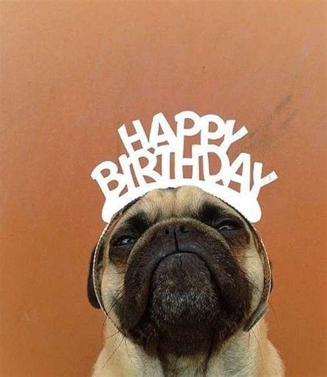 Happy Birthday Pug Meme - 24 reasons norm the pug is the coolest pug you will ever