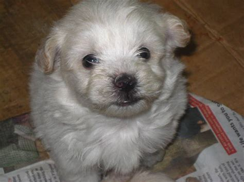 pug and westie mix shih tzu x terrier orpington secondhand breeds picture
