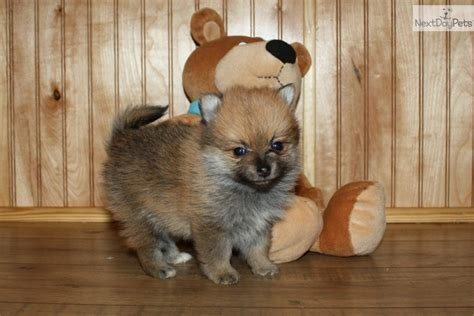 pomeranian puppies for sale in oklahoma pomeranian puppy for sale near tulsa oklahoma 70e6a325 0e71