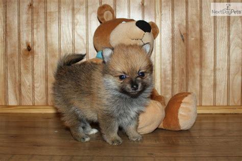 pomeranian tulsa pomeranian puppy for sale near tulsa oklahoma 70e6a325 0e71