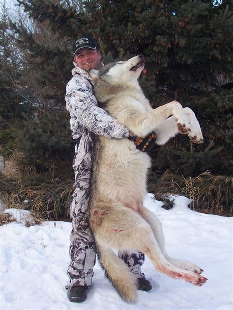 wolf hybrid wolf hybrid taringa
