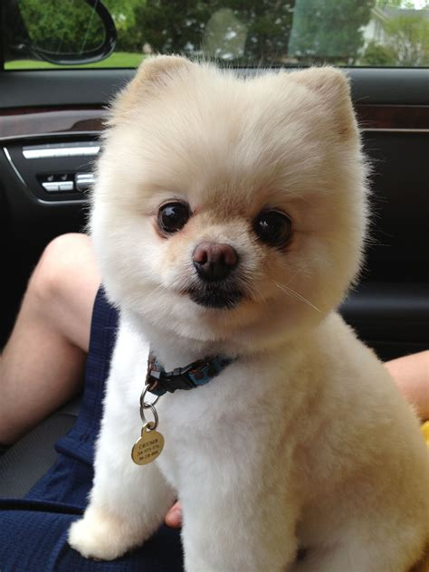 pomeranian haircut styles crumb showing off his handsome haircut crumb
