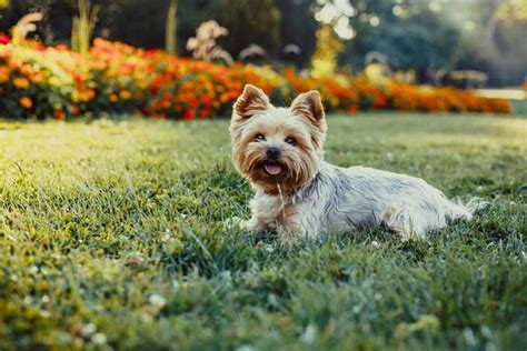 why yorkies are the best dogs 21 best apartment dogs for any owner nextgen