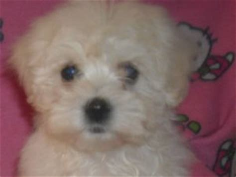 maltese puppies for sale in oklahoma maltese puppies in oklahoma
