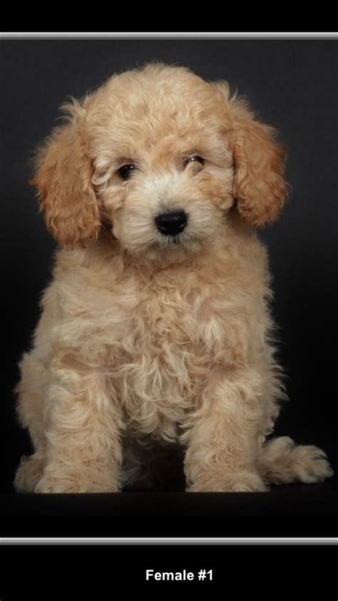 mini goldendoodles adorable mini goldendoodles
