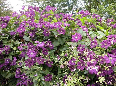 Clematis Viticella Etoile Violette 4887 by Violette Driverlayer Search Engine