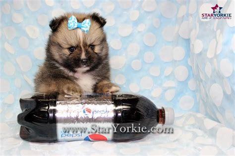 pomeranian puppies for sale in sacramento ca pomeranian pomeranian puppies pomeranian breeder teacup pomeranian puppies