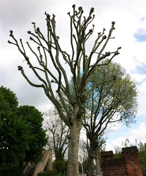 A Tree - tree trimming in isleworth pollarding sykes tree care