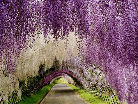 wisteria flower tunnel in japan most colorful places in the world the prince of kolkata