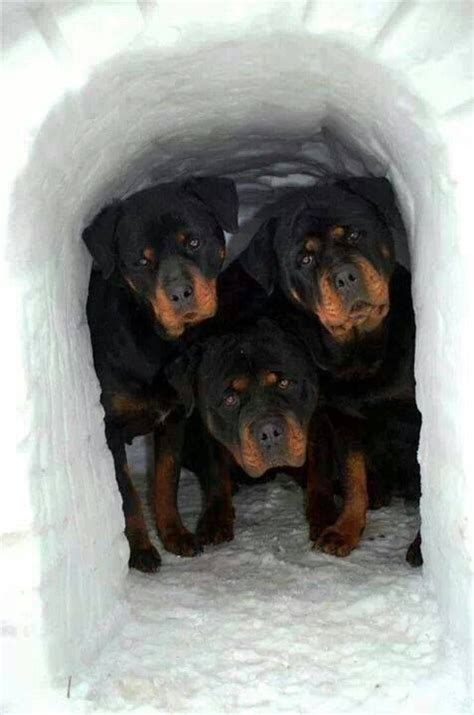 how much is a rottweiler the middle rottie looks so much lime mine seriously doesn t it friez animals