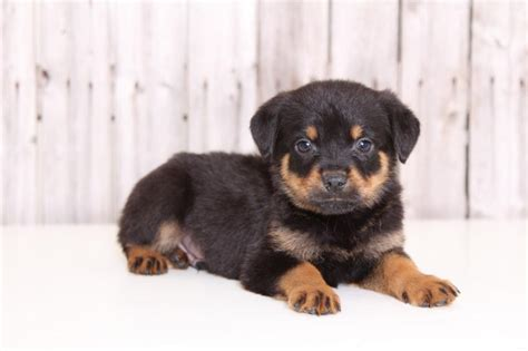 rottweiler puppies for sale in ohio rottweiler puppies for sale columbus ohio breeds picture