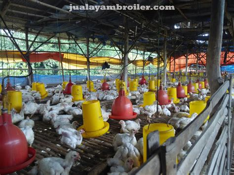 Jual Bibit Ayam Broiler Jakarta jual ayam broiler di jakarta utara jual ayam broiler