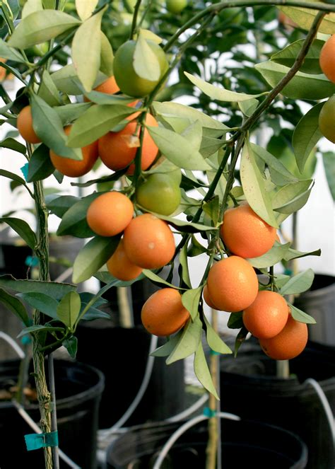 Southern Gardens Citrus by Use Containers To Grow Mobile Citrus Orchards